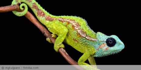 Chameleon_fotolia_85191370